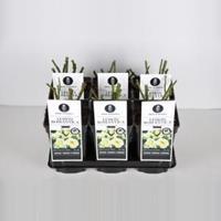 plantenwinkel.nl Rozenstruik Lemon Romantica - C3 - 1 stuks