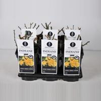 plantenwinkel.nl Rozenstruik Indiane - C3 - 1 stuks