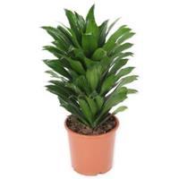 plantenwinkel.nl Dracaena compacta S kamerplant