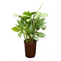 plantenwinkel.nl Aglaonema christina S hydrocultuur plant