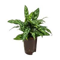 plantenwinkel.nl Aglaonema maria hydrocultuur plant