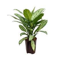 plantenwinkel.nl Aglaonema silver king hydrocultuur plant