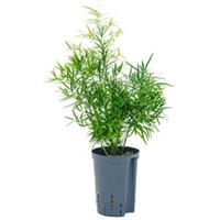plantenwinkel.nl Asparagus falcatus S hydrocultuur plant