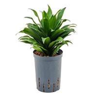 plantenwinkel.nl Dracaena compacta XXS hydrocultuur plant
