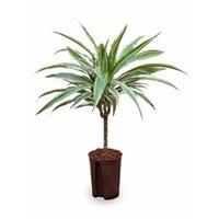 plantenwinkel.nl Dracaena deremensis cali hydrocultuur plant