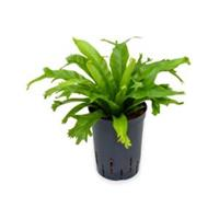 plantenwinkel.nl Asplenium varen amy hydrocultuur plant