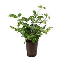 plantenwinkel.nl Dracaena godseffiana hydrocultuur plant