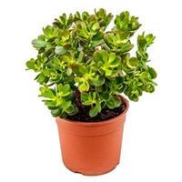 plantenwinkel.nl Crassula ovata minor S kamerplant