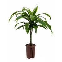 plantenwinkel.nl Dracaena arturo XXS hydrocultuur plant