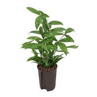 plantenwinkel.nl Dracaena surculosa XS hydrocultuur plant