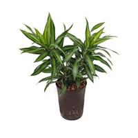 plantenwinkel.nl Dracaena pleomele song of jamaica hydrocultuur plant