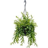 plantenwinkel.nl Aeschynanthus japhrolepis hangplant