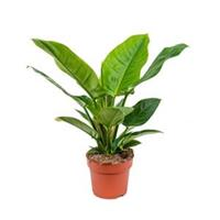 Philodendron imperial green S kamerplant