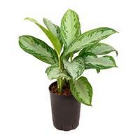 plantenwinkel.nl Aglaonema silver bay XS hydrocultuur plant