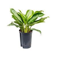 plantenwinkel.nl Aglaonema silver moon hydrocultuur plant