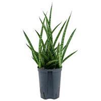 plantenwinkel.nl Sansevieria spikes marmoratus hydrocultuur plant