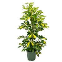 plantenwinkel.nl Schefflera gold capella S kamerplant