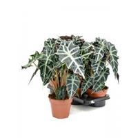 plantenwinkel.nl Alocasia polly XS kamerplant