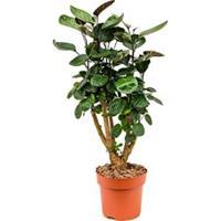 plantenwinkel.nl Polyscias aralia fabian XS kamerplant