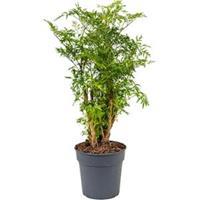 plantenwinkel.nl Polyscias aralia ming S kamerplant