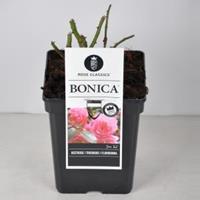 plantenwinkel.nl Rozenstruik Bonica - C5 - 1 stuks