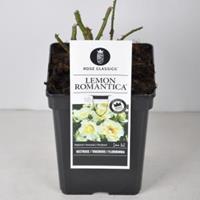 plantenwinkel.nl Rozenstruik Lemon Romantica - C5 - 1 stuks