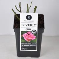 plantenwinkel.nl Rozenstruik Beverly - C5 - 1 stuks