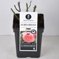 plantenwinkel.nl Rozenstruik Elbflorenz - C5 - 1 stuks