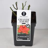 plantenwinkel.nl Rozenstruik Grande Amore - C5 - 1 stuks