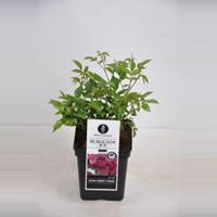 plantenwinkel.nl Trosroos (rosa Burgundy Ice®)