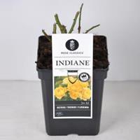 plantenwinkel.nl Rozenstruik Indiane - C5 - 1 stuks