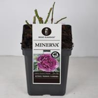 plantenwinkel.nl Rozenstruik Minerva - C5 - 1 stuks