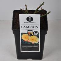 plantenwinkel.nl Rozenstruik Lampion - C5 - 1 stuks