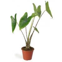 plantenwinkel.nl Alocasia zebrina XS kamerplant