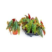 plantenwinkel.nl Begonia maculata stippenplant S kamerplant
