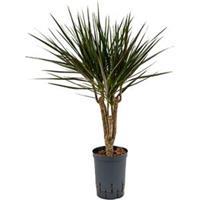 plantenwinkel.nl Dracaena marginata spider vertakt XS hydrocultuur plant