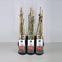 Klimroos Red Flame - C3 - 1 stuks