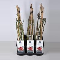 plantenwinkel.nl Klimroos Santana - C3 - 1 stuks
