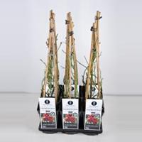 plantenwinkel.nl Klimroos Florentina - C3 - 1 stuks