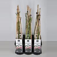 plantenwinkel.nl Klimroos Jasmina - C3 - 1 stuks