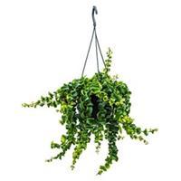 plantenwinkel.nl Aeschynanthus rasta hangplant
