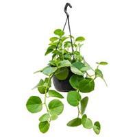 plantenwinkel.nl Cissus rotundifolia hangplant
