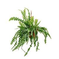 Epiphyllum zaagcactus anguliger L hangplant