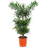plantenwinkel.nl Dracaena Pleomele reflexa multi kamerplant