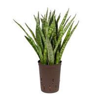 plantenwinkel.nl Sansevieria kirkii S hydrocultuur plant