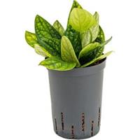 plantenwinkel.nl Monstera karstenianum hydrocultuur hangplant