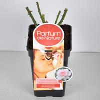 plantenwinkel.nl Rozenstruik Parfum de Nature A Whiter Shade of Pale - C5 - 1 stuks