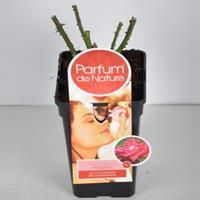 plantenwinkel.nl Rozenstruik Parfum de Nature Acapella - C5 - 1 stuks