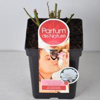 plantenwinkel.nl Rozenstruik Parfum de Nature Annapurna - C5 - 1 stuks