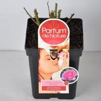 plantenwinkel.nl Rozenstruik Parfum de Nature Beverly - C5 - 1 stuks